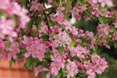 Striking blooming apple tree in the garden. Stock Photo