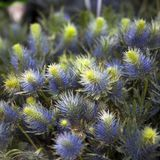 The Striking blue Eryngium Jos Eijking - Sea Holly Royalty Free Stock Photo