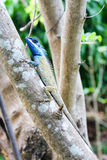 Striking blue headed lizard on a tree in Vietnam. Photograph of a Calotes bachae perched on a tree in Vietnam. The lizard's head changes to a brilliant blue Stock Photo