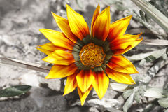 Striking bright yellow flower. With desaturated backround Stock Images