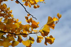 Yellow Leaves Ginko Biloba Maidenhair Tree. Striking brilliant yellow of the Ginko Biloba autumn leaves. The only living species in the division Ginkgophyta, all Stock Photos