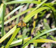 Large Skipper butterfly Ochlodes venatus in reeds in the Combe Valley river in East Sussex, England royalty free stock image