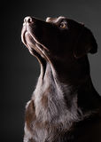 Striking Chocolate Labrador Looking Up Royalty Free Stock Photos