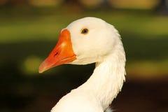 Striking Close-up Goose Head Royalty Free Stock Image