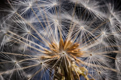 Striking closeup of a dandelion head against a blue and black ba. Closeup of the pattern of a head of dandelion seeds Stock Photo