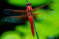 Striking Closeup Overhead View of Red Skimmer or Firecracker Dragonfly with Crisp, Detailed, Intricate, Gossamer Wings. Libellula saturata royalty free stock photo