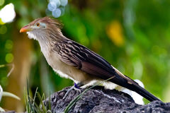 A Striking Closeup Pose of a Guira Cuckoo Bird. A Striking Closeup Pose of a Guira Cuckoo Bird (Guira guira), or A Puffy Fluffy Bird with Orange Beak stock photo