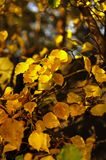 Striking Cluster of Bright Yellow leaves as the Focal point for this Composition. stock photo