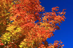 The Striking Colors of Autumn. Royalty Free Stock Photography