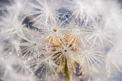 Striking dandelion seeds reminiscent of cold snowflakes in winte. Dandelion seeds covered in droplets of water, appearing like snowflakes on a cold winter day Royalty Free Stock Photo
