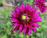 Striking Deep Purple Dahlia. The striking deep purple flower of the popular garden plant the Dahlia, growing outdoors in a garden setting royalty free stock photo