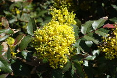 Striking foliage and flowers of Berberis aquifolium Royalty Free Stock Photos