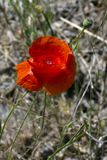 Poppy or Papaver is a genus of flowering plants. A known species is the sleeping bulb Papaver somniferum, from which opium is ex. Striking is the Great poppy stock photos