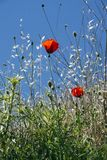 Poppy or Papaver is a genus of flowering plants. A known species is the sleeping bulb Papaver somniferum, from which opium is ex. Striking is the Great poppy stock photography