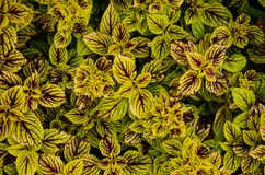 Striking green and burgundy variegation of Coleus plants Stock Image
