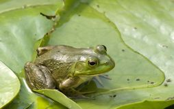 Striking Green frog. A great, sharp  Green frog sitting on a lilypad Royalty Free Stock Images