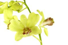 Striking green orchid Royalty Free Stock Image