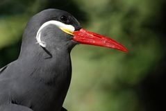 A striking Inca Tern (Larosterna Inca) Royalty Free Stock Photos