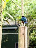 The striking iridescent blue-to-green colors of an adult Superb Starling Lamprotornis superbus royalty free stock photos