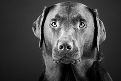 Striking Labrador Stock Photography