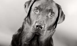 Striking Labrador Royalty Free Stock Images