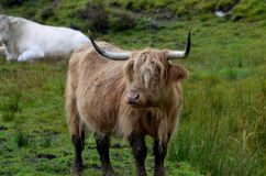 Cute long haired highland cow in Isle of Skye royalty free stock photos