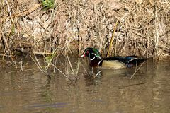 Striking male Wood Duck swims in a creek in early spring. Male Wood Duck in breeding plumage swims in the marsh at Bosque del Apache National Wildlife Refuge in Royalty Free Stock Image