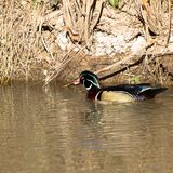 Striking male Wood Duck swims in a creek in early spring. Male Wood Duck in breeding plumage swims in the marsh at Bosque del Apache National Wildlife Refuge in Stock Image