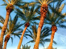 Striking Palm trees royalty free stock photography