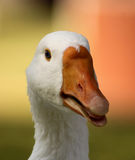 Striking Goose Head Open Beak Tongue Close-up Royalty Free Stock Image