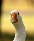 Striking Curious Goose. Striking Picture of Head of a Curious Goose stock photo