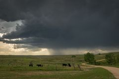 Cattle grazing on Wyoming plains under dramatic sky with thunderstorm approaching. royalty free stock photography