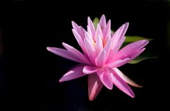 Striking pink lily on black Royalty Free Stock Image