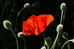 Striking Poppy. An Oriental poppy in full bloom is surrounded by unopened buds stock photos