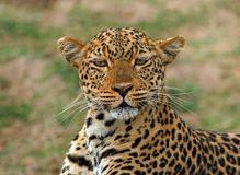 Striking pose of a beautiful african leopard in south luagwa national park Royalty Free Stock Photo