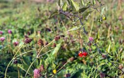 Striking red berries of bittersweet nightshade from close. Closeup of various flowering and overblown wild plants growing on the slope of a Dutch embankment in stock photography