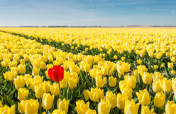 Striking red blooming tulip among lots of yellow tulips. Striking red flowering tulip differs greatly from the many yellow blooming tulips in the large field of stock photography