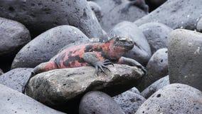 Striking red colored marine iguana on isla espanola in the galapagos. Islands, ecuador stock video footage