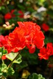 A striking red geranium with a blurred background. royalty free stock image
