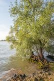Striking roots of a willow tree at the edge of a wide river Stock Photo