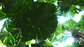 Striking round leaf of a fan palm. The striking round leaf of a fan palm in the daintree national park stock video