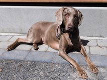 Striking short-haired silver-tan Weimaraner royalty free stock photography