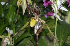 Paphiopedilum Saint Swithin Orchid. A striking slipper orchid with bold colorful stripes and markings of purple, red, green and white. Orchidaceae Paphiopedilum stock images