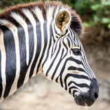 Striking Striped Head of a Plains Zebra Royalty Free Stock Images