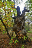 Striking a tree in a wooded area looking interesting. An old tree in autumn season Royalty Free Stock Photography