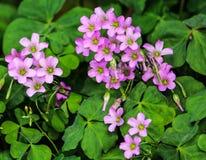 Vivid veining in purple violets growing wild at Taipei. Striking veining in purple violets blooming wild at Taipei. Colorful and vivid Stock Photos