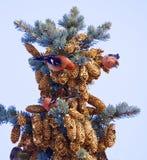 Striking White-winged Crossbills. Three beautiful White-winged Crossbills feeding on pine cones Stock Images