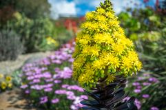 Beautiful yellow flowers on a garden background. Striking yellow flowers of the succulent plant called Houseleek Tree, native to Canary Islands of the coast of royalty free stock photography