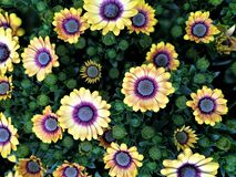 Yellow Osteospermum flowers and buds Stock Images
