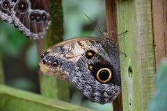 A strikingly colored butterfly with an eye on the wings royalty free stock images